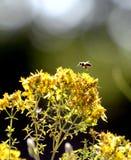 imagen de una abeja en flores amarillas del perforatum, de St John y de x27 del hypericum; valor de s Imagenes de archivo