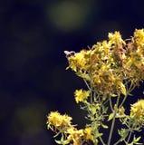 imagen de una abeja en flores amarillas del perforatum, de St John y de x27 del hypericum; valor de s Imágenes de archivo libres de regalías
