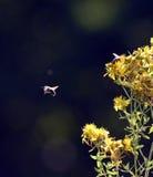 imagen de una abeja en flores amarillas del perforatum del hypericum, St Imágenes de archivo libres de regalías