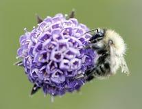 imagen de una abeja en una flor púrpura Imágenes de archivo libres de regalías