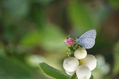 Imagen de una mariposa azul santa en una planta de comida Foto de archivo libre de regalías