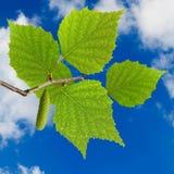 Imagen de una rama con las hojas en el primer del fondo del cielo Imagen de archivo libre de regalías