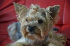 Imagen de una raza criada en línea pura hermosa Yorkshire Terrier del perro foto de archivo