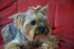 Imagen de una raza criada en línea pura hermosa Yorkshire Terrier del perro imagen de archivo libre de regalías