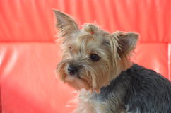 Imagen de una raza criada en línea pura hermosa Yorkshire Terrier del perro imagenes de archivo