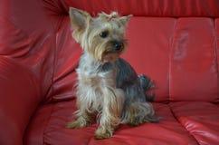 Imagen de una raza criada en línea pura hermosa Yorkshire Terrier del perro imágenes de archivo libres de regalías