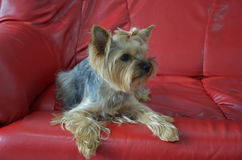 Imagen de una raza criada en línea pura hermosa Yorkshire Terrier del perro fotografía de archivo libre de regalías