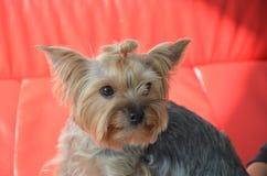 Imagen de una raza criada en línea pura hermosa Yorkshire Terrier del perro foto de archivo libre de regalías