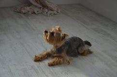 Imagen de una raza criada en línea pura hermosa Yorkshire Terrier del perro fotos de archivo