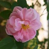 Imagen de una rosa hermosa del rosa Imágenes de archivo libres de regalías