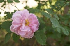 Imagen de una rosa hermosa del rosa Imagenes de archivo