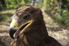 Imagen del águila orgullosa en el parque zoológico imagen de archivo