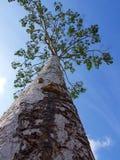 Imagen del árbol en el cielo azul Foto de archivo libre de regalías