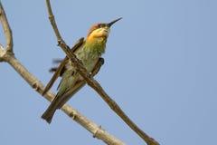Imagen del Abeja-comedor del verde del pájaro en la rama Fotos de archivo libres de regalías