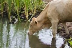 Imagen del agua potable de la vaca marrón en un pantano fotos de archivo