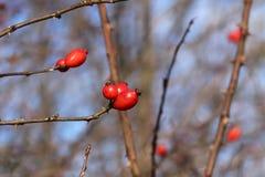 Imagen del arbusto del dogrose del otoño con las bayas rojas maduras en tiempo frío Las hojas pasadas en el arbusto del dogrose e fotos de archivo
