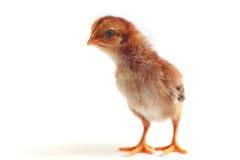 Imagen del caldo de pollo del bebé Foto de archivo
