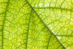 imagen del cierre verde de la hoja para arriba Imagen de archivo libre de regalías
