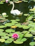 imagen del cisne en el cierre del agua para arriba Fotos de archivo