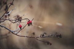 Imagen del dogrose seco rojo salvaje en el campo imágenes de archivo libres de regalías