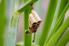 Imagen del fasciata común de Ropalidia de la avispa de papel Foto de archivo