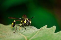 Imagen del flavopictus de WaspPhimenes del alfarero en la hoja verde En Imagen de archivo
