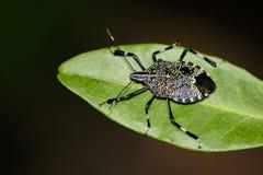 Imagen del fullo de Erthesina del insecto del hedor en las hojas verdes insecto foto de archivo libre de regalías