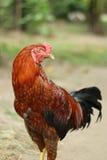 Imagen del gallo colorido Fotografía de archivo