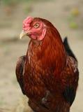 Imagen del gallo colorido Fotos de archivo