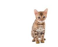 Imagen del gato de Bengala con los casquillos amarillos de las garras Imagen de archivo
