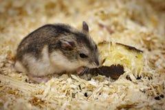 Imagen del hámster que come la comida pet Animales fotos de archivo libres de regalías