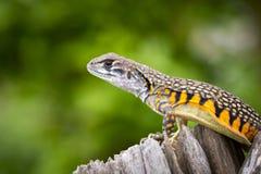 Imagen del lagarto Leiolepis Cuvier del Agama de la mariposa Fotografía de archivo libre de regalías