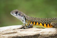 Imagen del lagarto Leiolepis Cuvier del Agama de la mariposa Imágenes de archivo libres de regalías