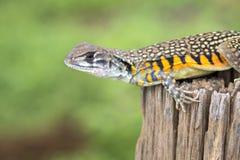 Imagen del lagarto Leiolepis Cuvier del Agama de la mariposa en el CCB de la naturaleza Fotos de archivo