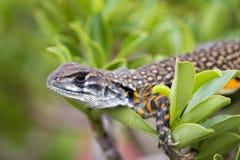 Imagen del lagarto Leiolepis Cuvier del Agama de la mariposa en el CCB de la naturaleza Foto de archivo