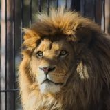Imagen del león Fotos de archivo libres de regalías