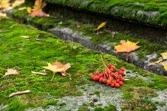 Imagen del manojo de ashberry en el sepulcro cubierto de musgo en la yarda de la iglesia Fotografía de archivo libre de regalías