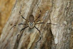 Imagen del multipuncta adornado de Herennia de la araña del Orbe-tejedor Imagenes de archivo