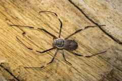 Imagen del multipuncta adornado de Herennia de la araña del Orbe-tejedor Fotografía de archivo libre de regalías