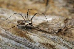 Imagen del multipuncta adornado de Herennia de la araña del Orbe-tejedor Imágenes de archivo libres de regalías