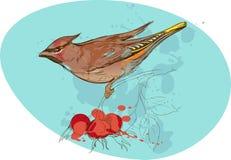 Imagen del pájaro en una rama con las bayas del sorbus y Foto de archivo libre de regalías