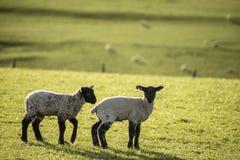 Imagen del paisaje de Beauitful de los corderos y de las ovejas recién nacidos de la primavera en f Fotos de archivo