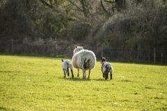 Imagen del paisaje de Beauitful de los corderos y de las ovejas recién nacidos de la primavera en f Imagenes de archivo