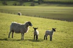 Imagen del paisaje de Beauitful de los corderos y de las ovejas recién nacidos de la primavera en f Foto de archivo