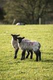 Imagen del paisaje de Beauitful de los corderos y de las ovejas recién nacidos de la primavera en f Fotos de archivo libres de regalías