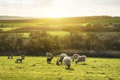 Imagen del paisaje de Beauitful de los corderos y de las ovejas recién nacidos de la primavera en f Imagen de archivo