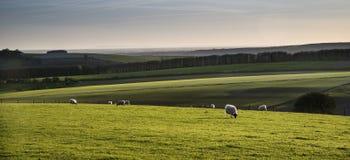 Imagen del paisaje de Beauitful de los corderos y de las ovejas recién nacidos de la primavera en f Foto de archivo libre de regalías