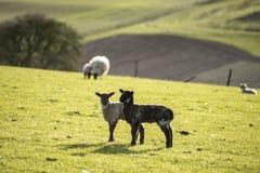 Imagen del paisaje de Beauitful de los corderos y de las ovejas recién nacidos de la primavera en f Fotografía de archivo libre de regalías