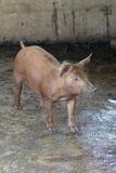 Imagen del pequeño cerdo en la granja Foto de archivo libre de regalías