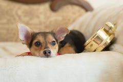 Imagen del pequeño perro bonito con el despertador que mira hacia fuera la mentira de relajación de la ventana en esperar de la c Foto de archivo